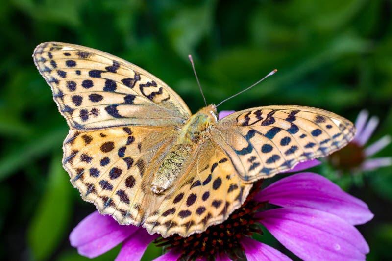 Una mariposa lavada plata imágenes de archivo libres de regalías