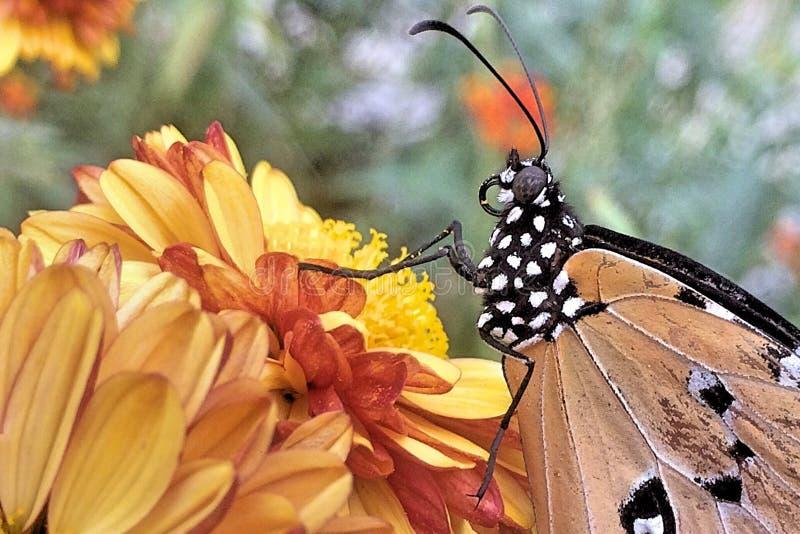 Una mariposa llana del tigre en una flor fotos de archivo libres de regalías