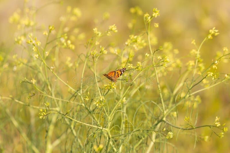 Una mariposa pintada de la señora cena en las flores del alhelí occidental imagen de archivo libre de regalías