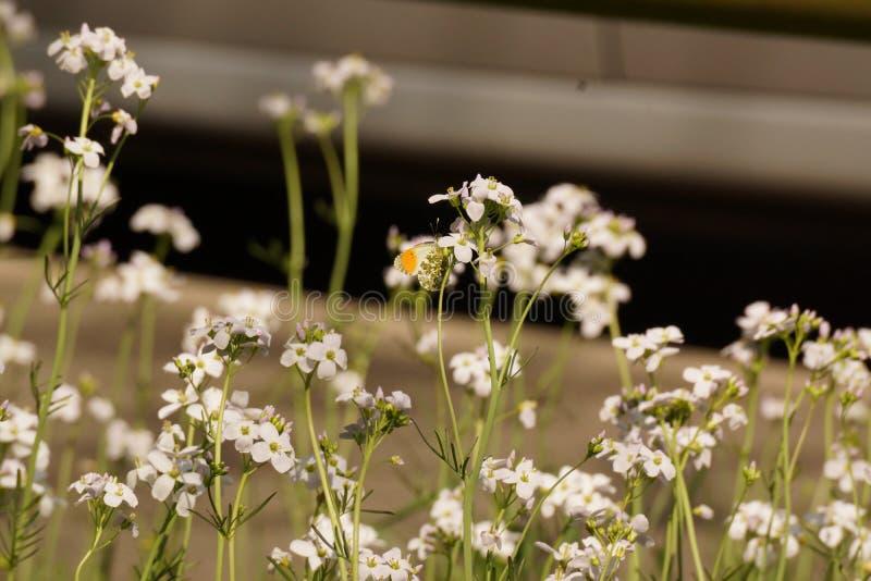 Una mariposa puso una flor - Francia foto de archivo
