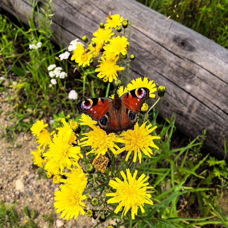 Una mariposa se sienta en una flor amarilla Ojo del pavo real de la mariposa La mariposa del ojo del pavo real en la flor foto de archivo libre de regalías