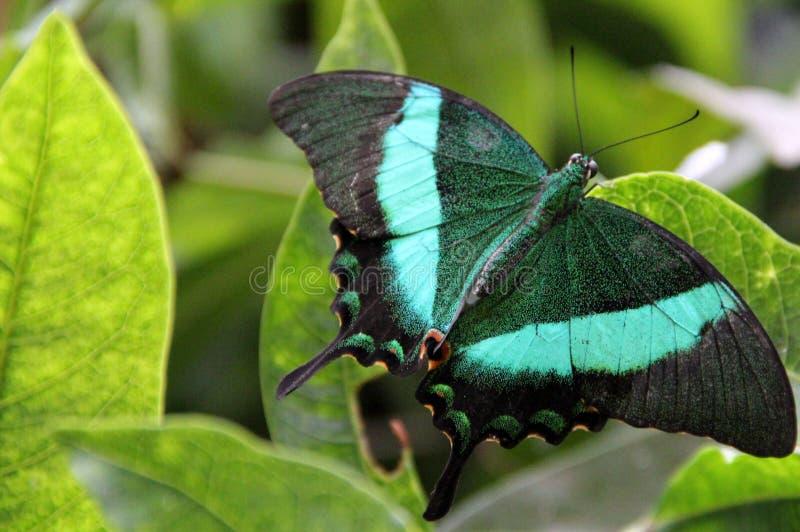 Una mariposa verde en verdor foto de archivo