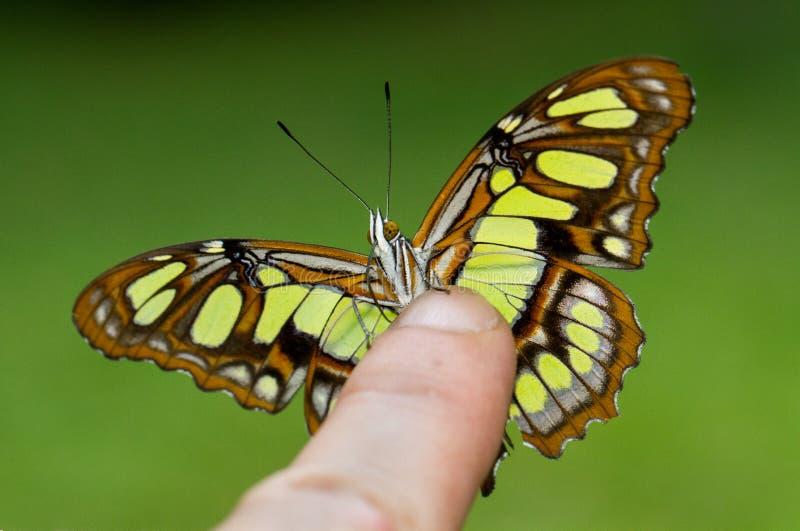 Una mariposa verde hermosa se encaramó en un finger fotos de archivo libres de regalías