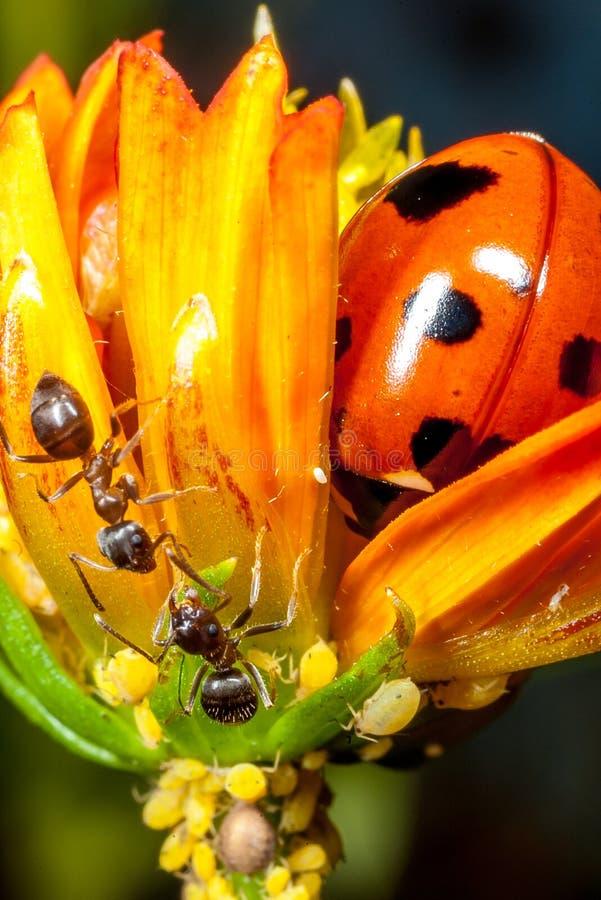 Una mariquita, hormigas y áfidos imagen de archivo libre de regalías