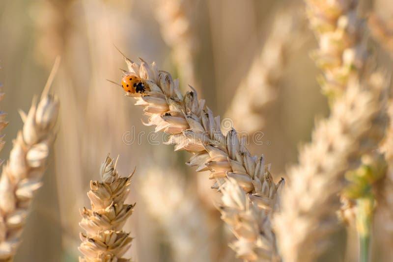 Una mariquita se sienta en un oído del trigo en el sol fotografía de archivo