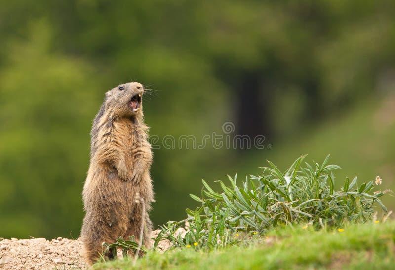 Una marmota alpestre que levanta la alarma imagen de archivo