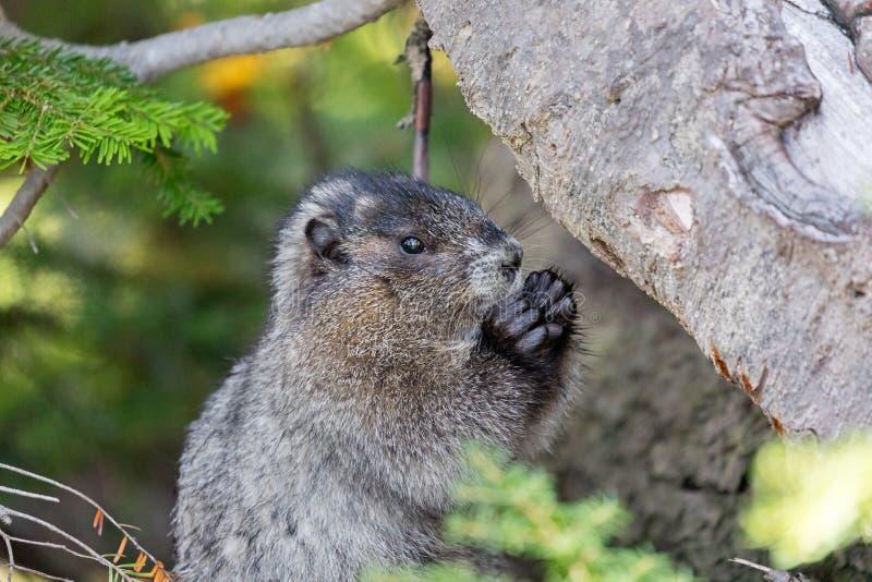 Una marmota de flores mordiendo algo de comida en el bosque de Mt. Rainier National Park imágenes de archivo libres de regalías