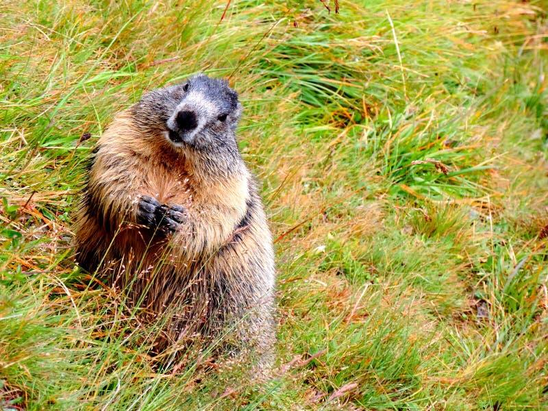Una marmotta divertente fotografia stock libera da diritti