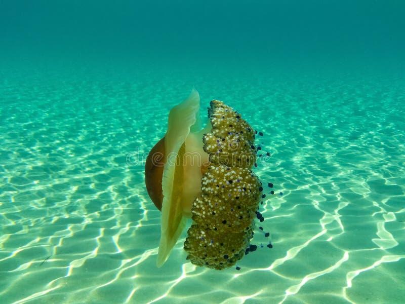 Una medusa magnífica en las aguas de mar de Sithonia, Chalkidiki, Grecia fotografía de archivo libre de regalías