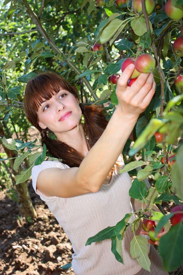 Una mela di raccolto della donna da un albero fotografia stock