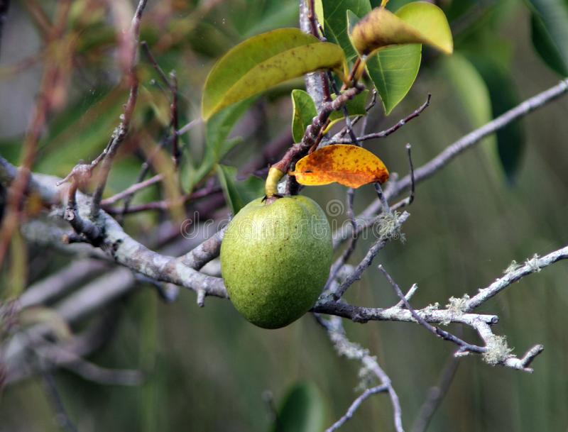 Una mela di stagno si sviluppa in un albero immagini stock