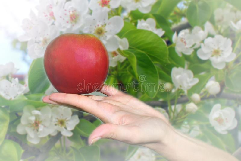 Una mela rossa matura fresca sulla palma della vostra mano, una collezione nel giardino di estate fotografie stock libere da diritti