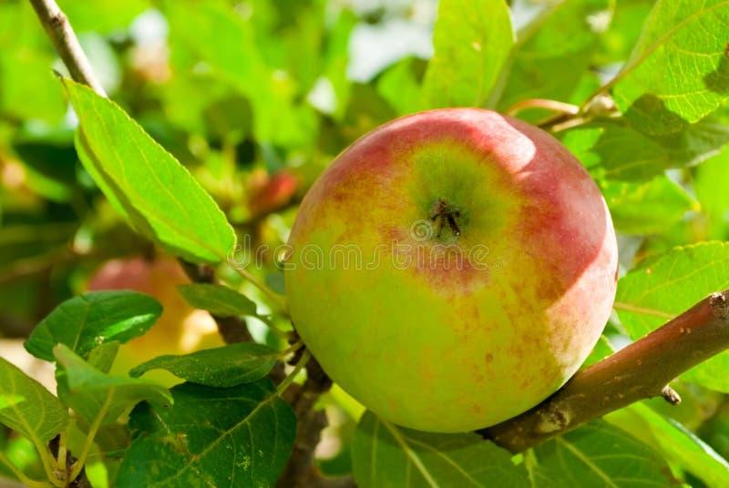 Una mela su un albero fotografia stock libera da diritti