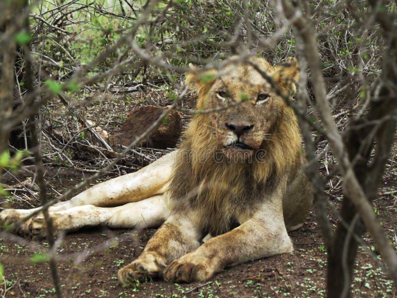 Una menzogne del leone circondata da vegetazione fotografia stock