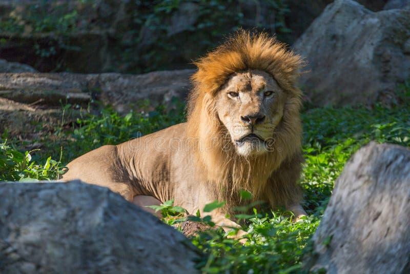 Una menzogne maschio del leone fotografie stock libere da diritti
