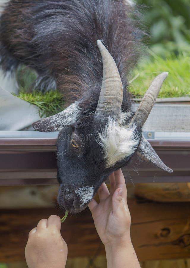 Una mini cabra del Camerún en el tejado coge un manojo de hierba de las manos del ` s de los niños fotos de archivo libres de regalías