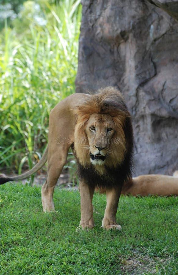 Una mirada asombrosa en Lion Standing de vagabundeo en hierba imagenes de archivo