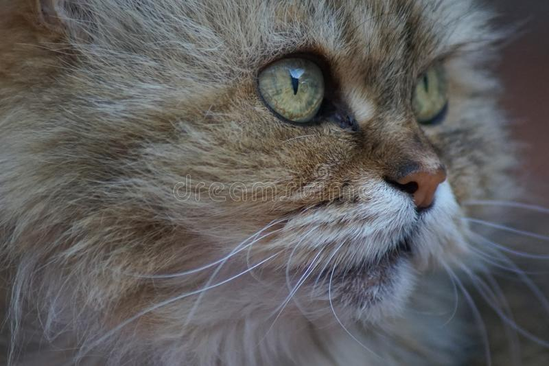 Una mirada cercana en un gato siamés imágenes de archivo libres de regalías