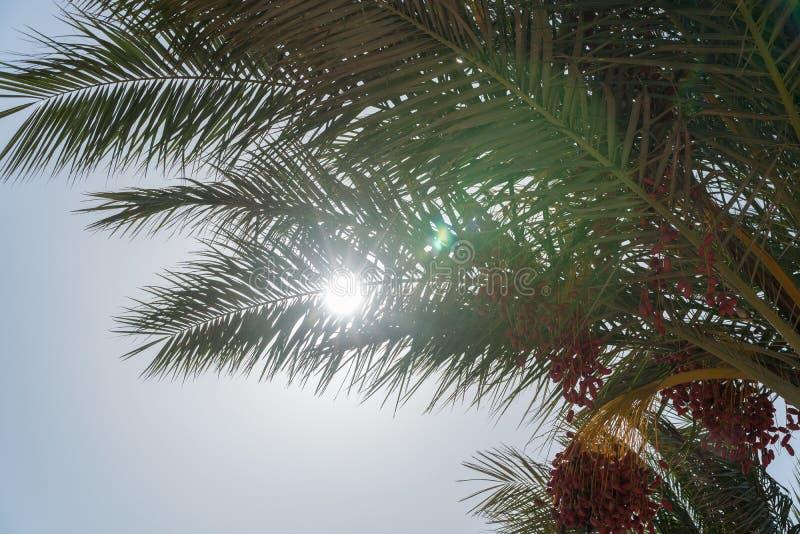 Una mirada en el sol de debajo la palma datilera fotos de archivo