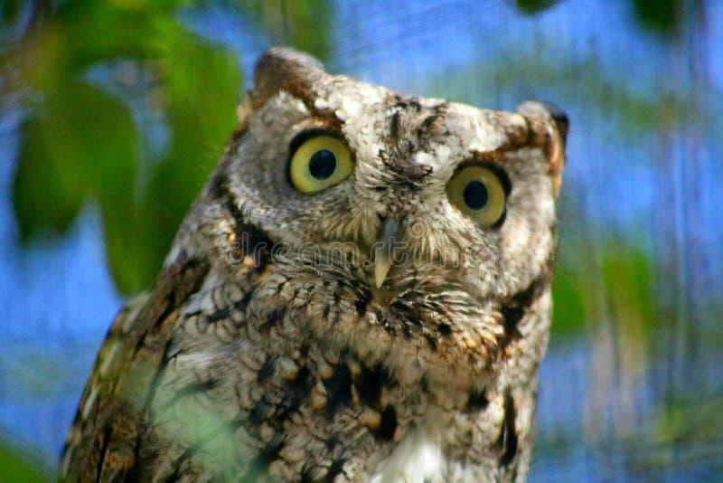 Una mirada sorprendida en la cara de los búhos fotografía de archivo libre de regalías