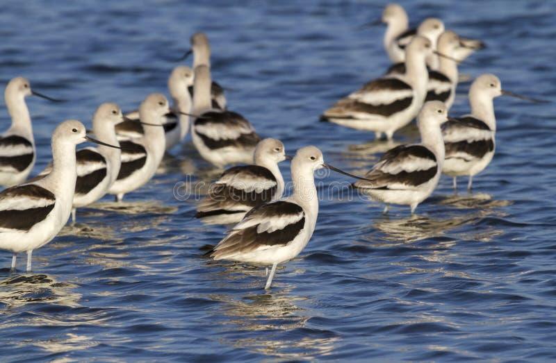 Una moltitudine di avocette americane (Recurvirostra americana) in acqua bassa immagini stock libere da diritti