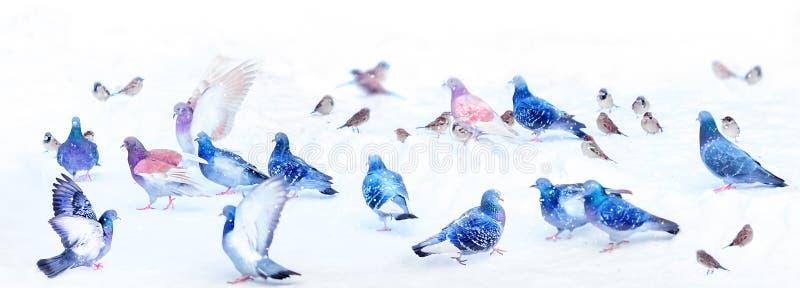 Una moltitudine di bei piccioni su un fondo di neve bianca La relazione nel gruppo Concetto Formato largo fotografie stock libere da diritti