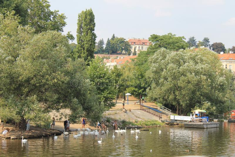 Una moltitudine di cigni bianchi sul fiume della Moldava in repubblica Ceca di Praga fotografia stock