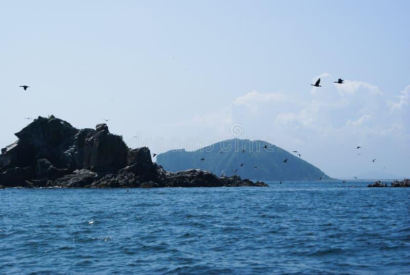 Una moltitudine di cormorani che decollano da una piccola isola Phalacrocorax Il Giappone del mare immagine stock libera da diritti