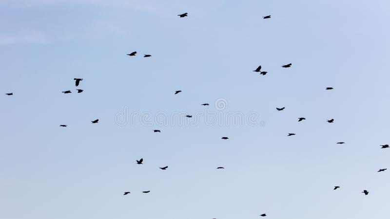 Una moltitudine di corvi nel cielo blu immagine stock libera da diritti