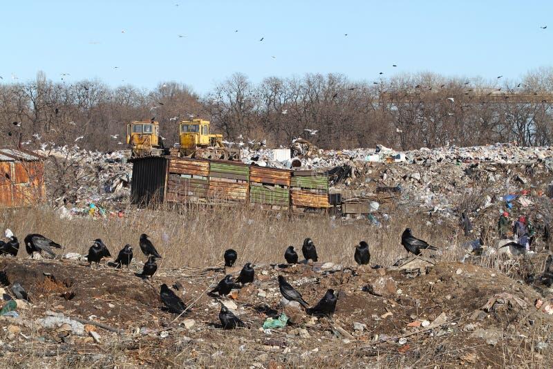 Una moltitudine di corvi neri su una discarica della città Bulldozer, fotografia stock libera da diritti