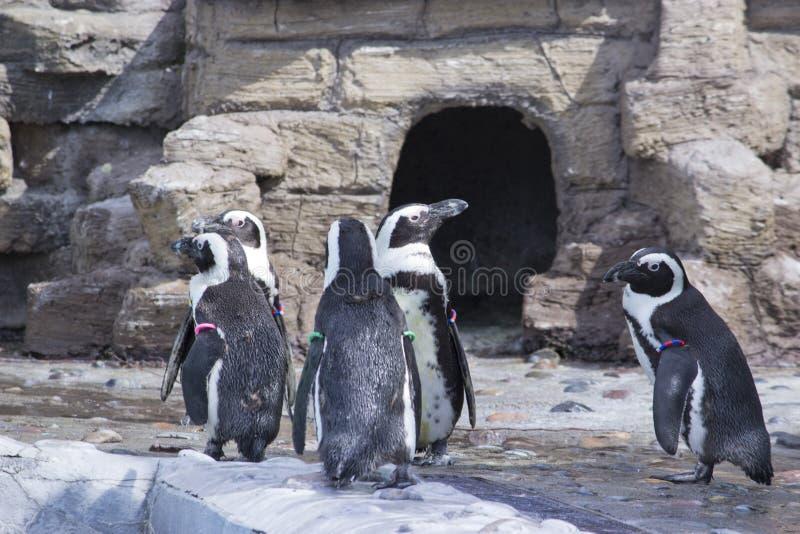 Una moltitudine di demersus africano dello Spheniscus dei pinguini immagine stock libera da diritti