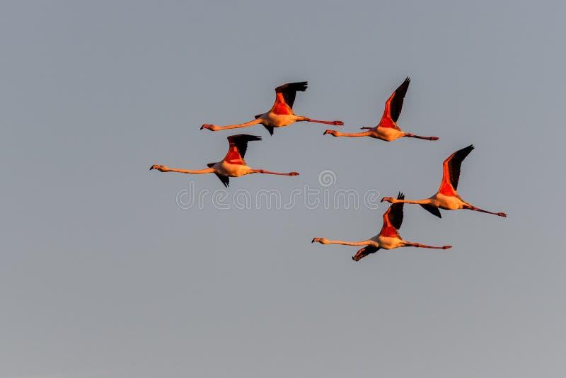 Una moltitudine di fenicotteri in volo fotografie stock