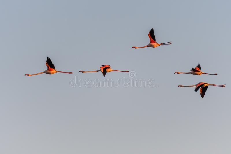 Una moltitudine di fenicotteri in volo fotografia stock libera da diritti