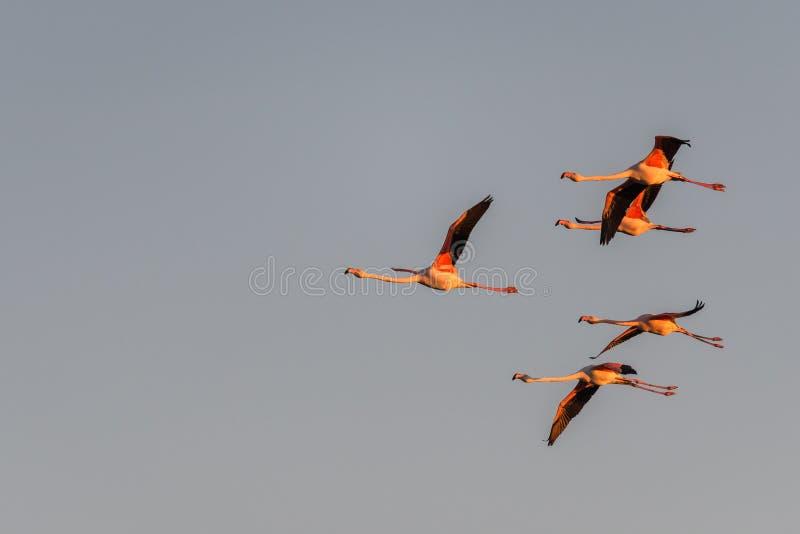 Una moltitudine di fenicotteri in volo immagini stock libere da diritti