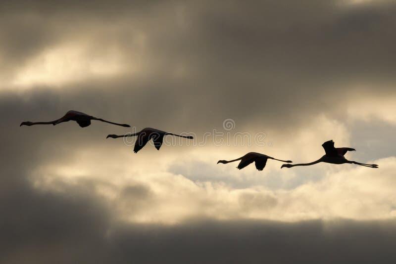 Una moltitudine di fenicotteri in volo fotografia stock