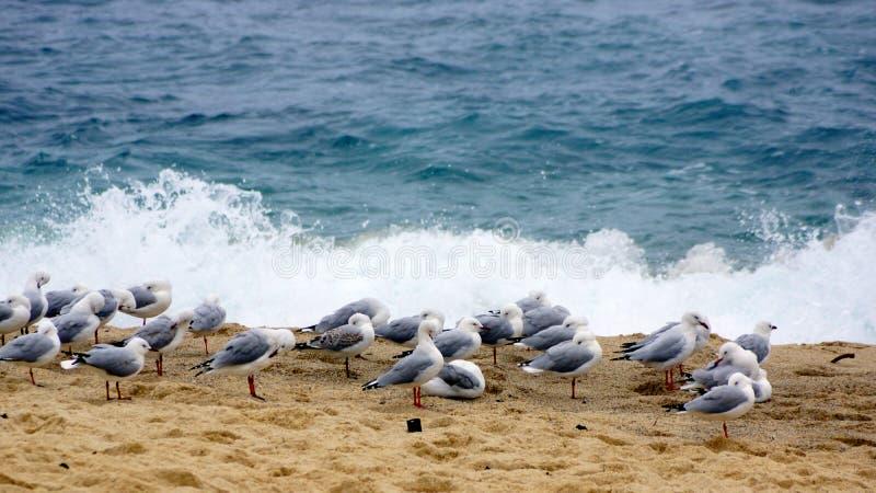 Una moltitudine di gabbiani su Bronte tempestoso tira, Sydney, Australia immagini stock