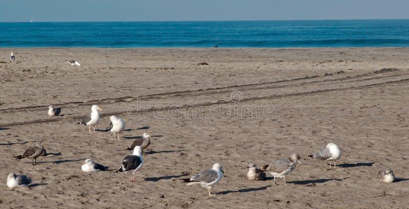 Una moltitudine di gabbiani su una spiaggia immagini stock libere da diritti