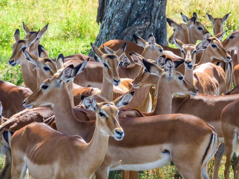 Una moltitudine di impala si raffredda nell'ombra sotto un albero immagini stock