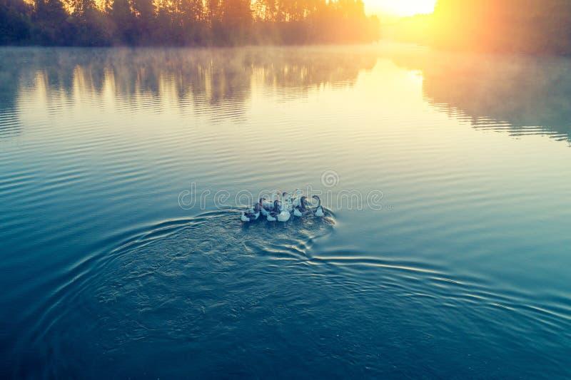 Una moltitudine di oche che galleggiano sull'acqua fotografie stock libere da diritti