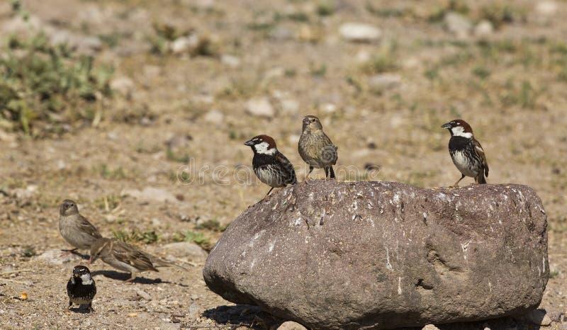 Una moltitudine di passeri spagnoli (hispaniolensis del passante) immagini stock