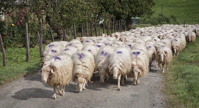Una moltitudine di pecore immagine stock