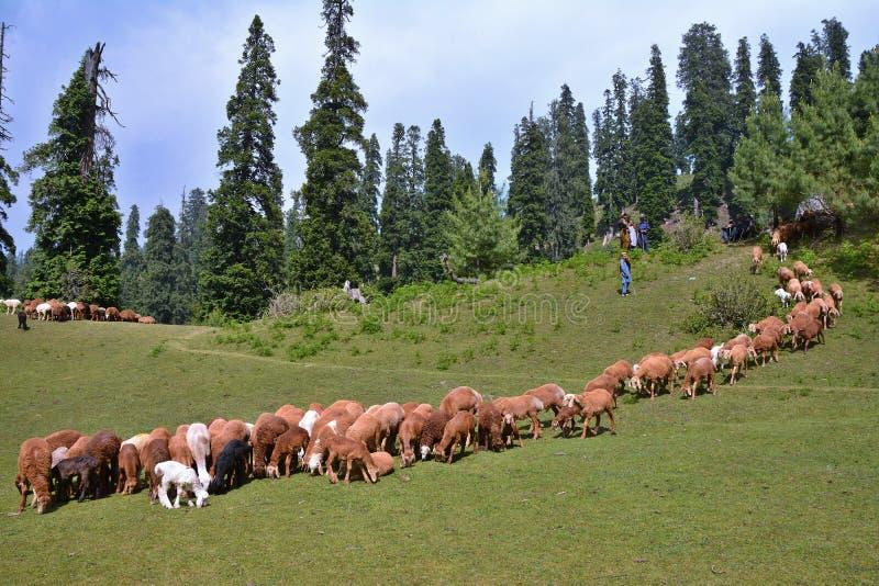 Una moltitudine di pecore che pascono ad un prato in valle di Naran, Pakistan fotografia stock