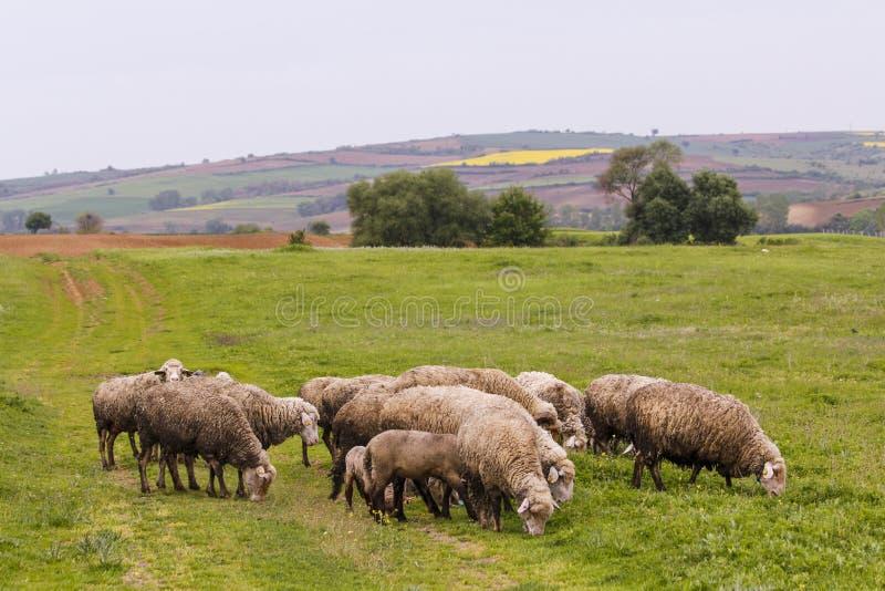 Una moltitudine di pecore che pascono immagini stock libere da diritti