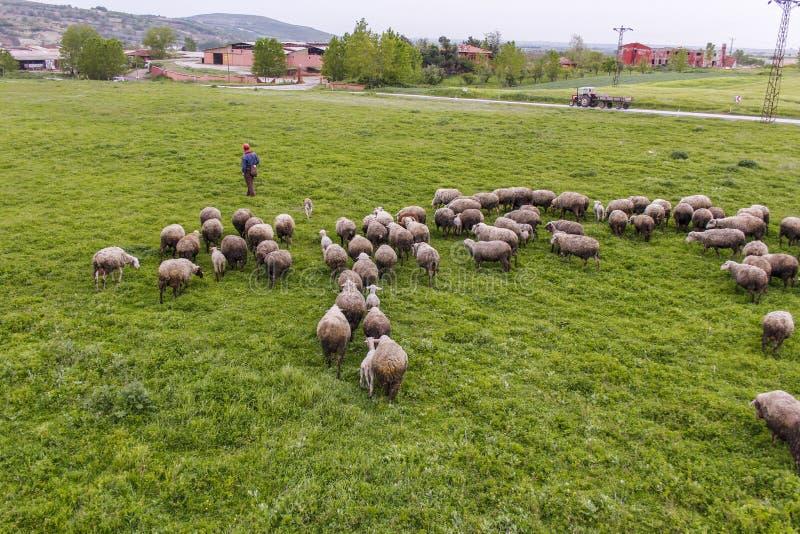 Una moltitudine di pecore che pascono immagine stock libera da diritti