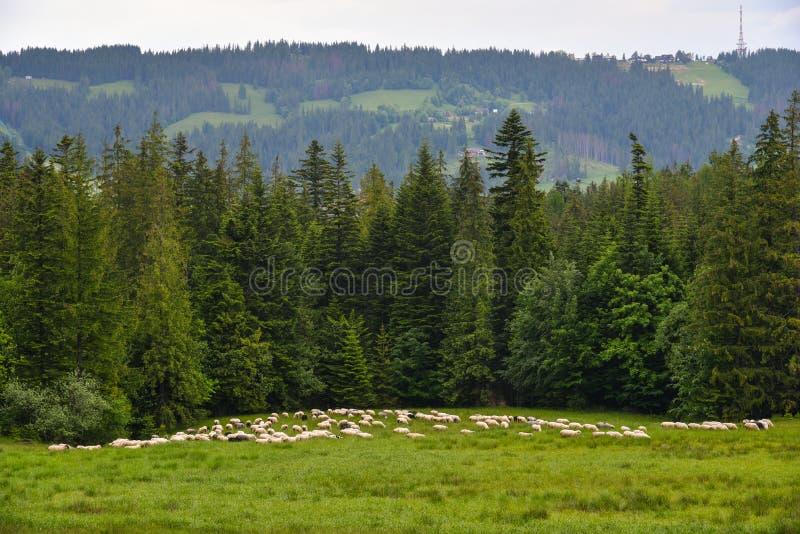 Una moltitudine di pecore dalla foresta fotografie stock