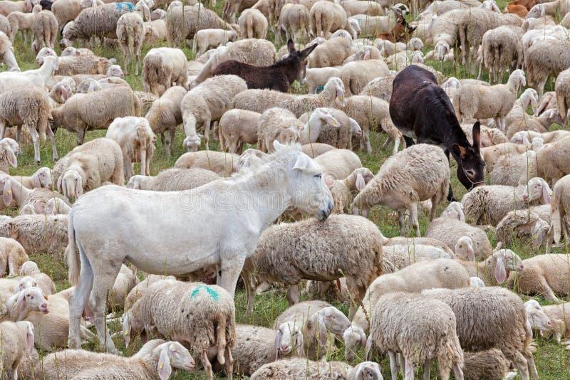 Una moltitudine di pecore e gli asini riposano durante la transumanza fotografie stock libere da diritti