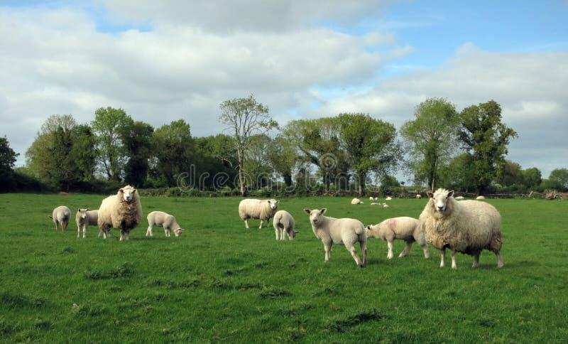 Una moltitudine di pecore nei campi verdi immagine stock libera da diritti