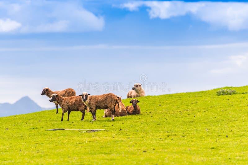 Una moltitudine di pecore nel prato, Nuova Zelanda Copi lo spazio per testo immagini stock libere da diritti