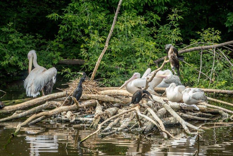 Una moltitudine di pellicani e di cormorani immagini stock