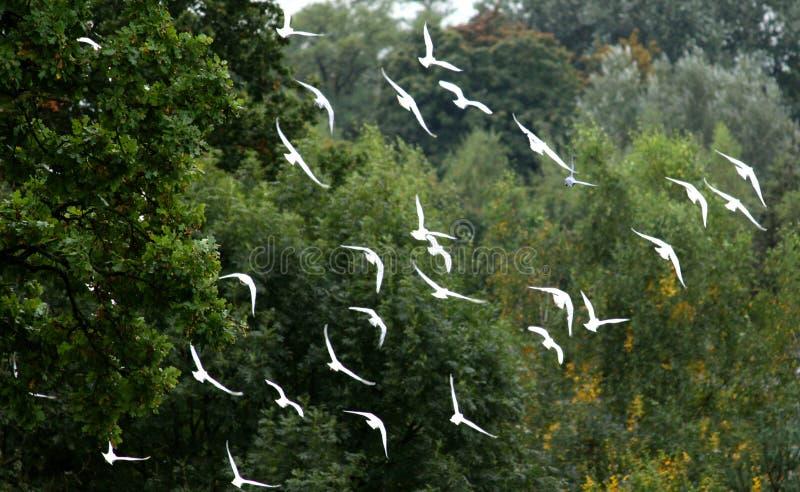 Una moltitudine di piccioni bianchi contro lo sfondo della foresta immagini stock libere da diritti